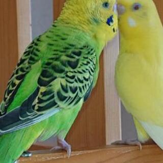 セキセイ若鳥の里親募集です