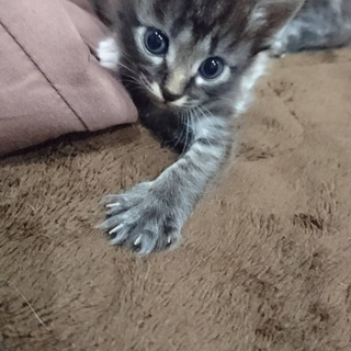生後1ヶ月 子猫 里親募集!一旦、受付終了致します!