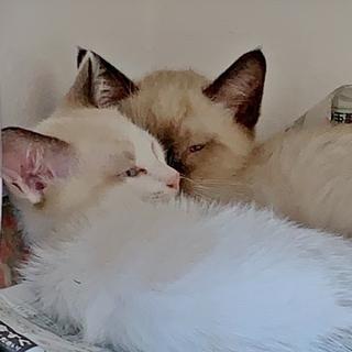 青い目が素敵なシャム系mixの美猫きょうだい