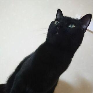 人馴れ抱っこOK 優しい賢い美猫くん