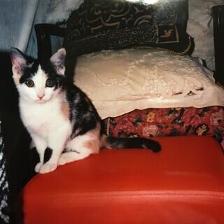 三毛猫のオス 2か月半です。 暖かい心の方に飼ってほしいです
