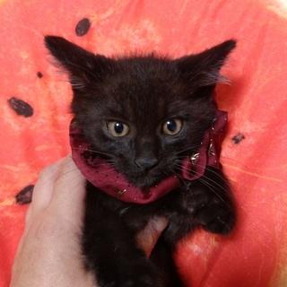 2ヶ月の黒猫の男の子●兄
