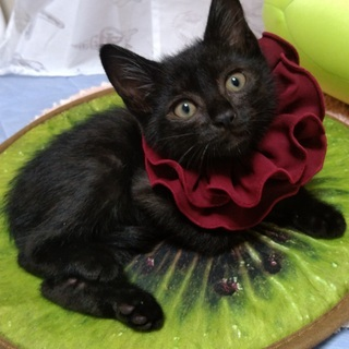 2ヶ月の黒猫の男の子●弟