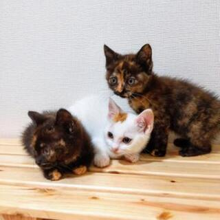 仲良しサビ✕2 茶白 兄弟保護猫