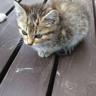 子猫の里親探してます。【トラ】の画像