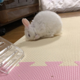 ミニウサギの里親を探してます
