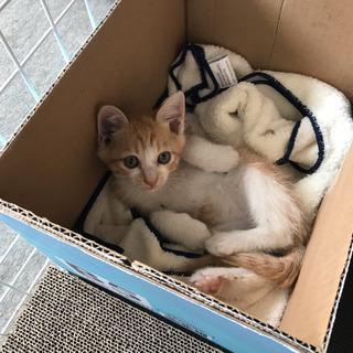 里親募集!茶白 オス 2ヶ月の仔猫
