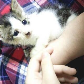 生後1ヵ月の可愛いネコちゃん(雄)