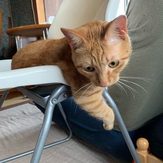 可愛い生後7ヶ月位の茶トラの雄の子猫