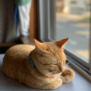 可愛い生後7ヶ月位の茶トラの雄の子猫 - 串間市