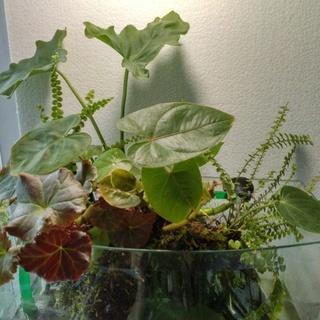 【只今交渉中】コンパクトテラリウム 観葉植物 コケ 流木 エビ ...