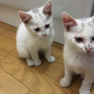 白い子猫を保護しました