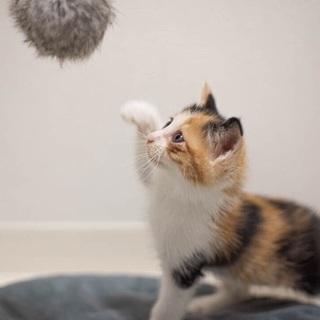 美猫の三毛 モモコちゃん