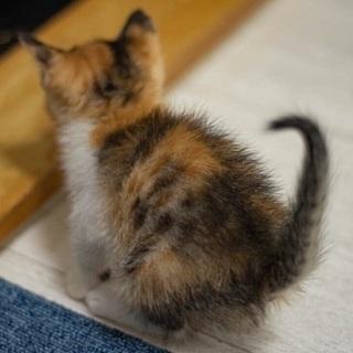 美猫の三毛 きなこちゃん