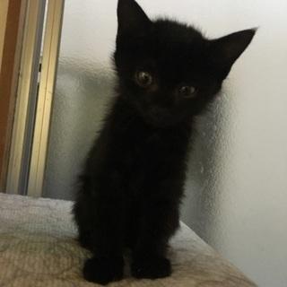 生後2ヶ月 元気いっぱい黒猫の男の子