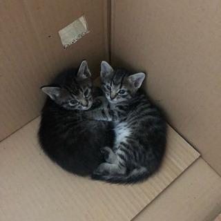 生後2ヶ月前後の二匹の仔猫の里親を探しています(里親さんみつかりま...