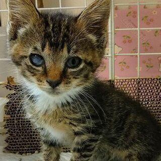 ウイルス陰性☆レボリューション済み☆推定2ヶ月☆手袋靴下猫☆女のコ