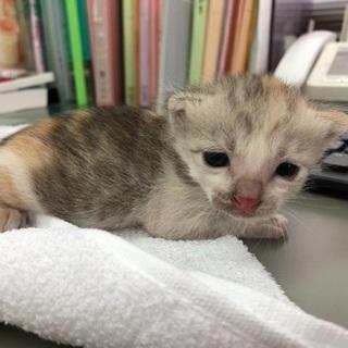 生後3週間の子猫 メス 里親さん募集