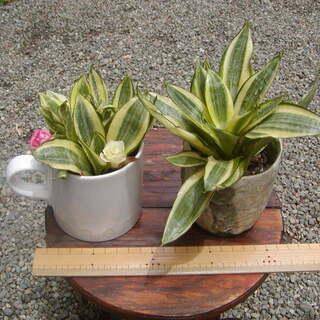 残り1鉢! 観葉植物 斑入りサンスベリア