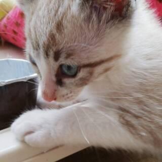 1ヶ月くらいの子猫を保護してます、里親募集!