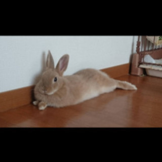 ウサギ譲ります。ネザーランドドワーフ