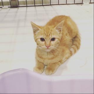 2ヶ月 茶トラ 男の子✴︎野良猫保護しています。