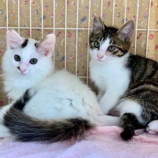 里親さん募集中。可愛い仔猫です。