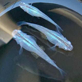 今年分残りわずか!早い者勝ち!メダカ 深海 体内光ブルー 稚魚 1匹