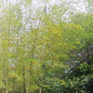 七夕の笹竹❗️残り一週間を経過しました❗️😊