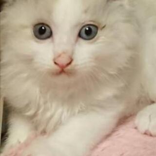 【お話し中】白猫 男の子 (2ヶ月)