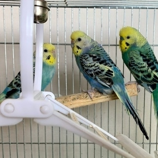 セキセイインコの幼鳥の里親様募集