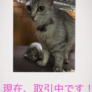 生後2ヶ月の子猫 - 沖縄市