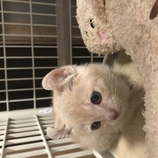 薄茶の子猫(生後3ヶ月)多分雌