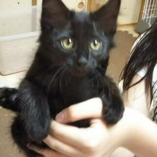 ちょっと長毛の黒猫ちゃん  2カ月の女の子