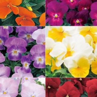 花の苗の販売
