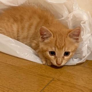 元気いっぱい茶トラの男の子 - 猫