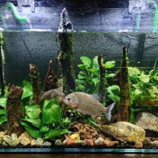 『60㎝ピラニア水槽セット』(アクアリウム レイアウト 熱帯魚 ...