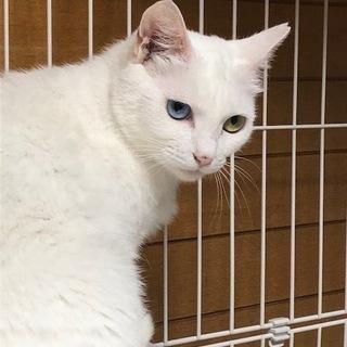 オッドアイの美女猫ブランカ。里親さん募集です。