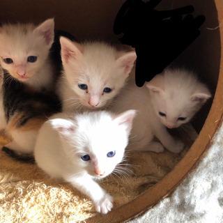 生後2ヶ月の青い瞳の白猫ちゃん5匹オッドアイ1匹