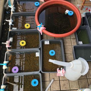 改良品種メダカの卵 激安放出