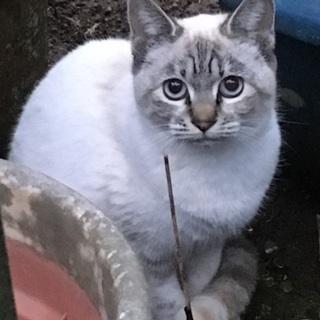 【保護猫①】シャム系統の保護猫です(推定1歳〜2歳)♀