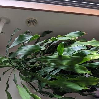 観葉植物 180センチ越え