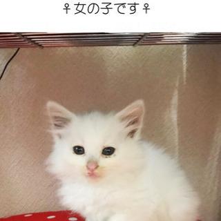 里親さん募集!真っ白な可愛い 白猫の女の子です。