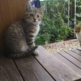 子猫の里親探してます。【トラ】 - 仙台市