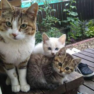 子猫の里親探してます。【トラ】 - 猫