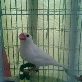 雛から育てた可愛い白文鳥です。去年12月半ばに産まれました❗