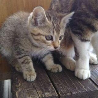 子猫の里親探してます。【トラ】 − 宮城県