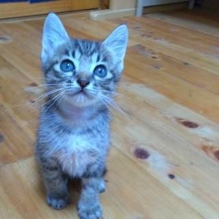 人懐っこい子猫生後二ヶ月半