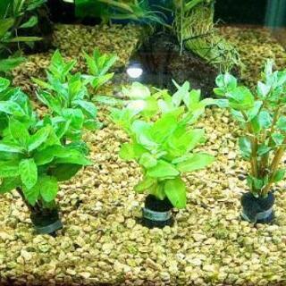 水草 3種類セット 【アクアリウム】