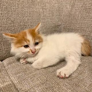 【募集停止】茶白のふわふわ子猫